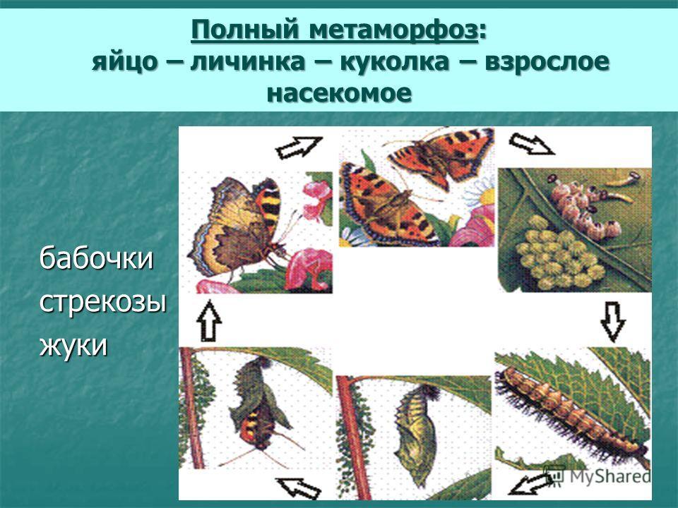 бабочки бабочки стрекозы стрекозы жуки жуки Полный метаморфоз: яйцо – личинка – куколка – взрослое насекомое яйцо – личинка – куколка – взрослое насекомое