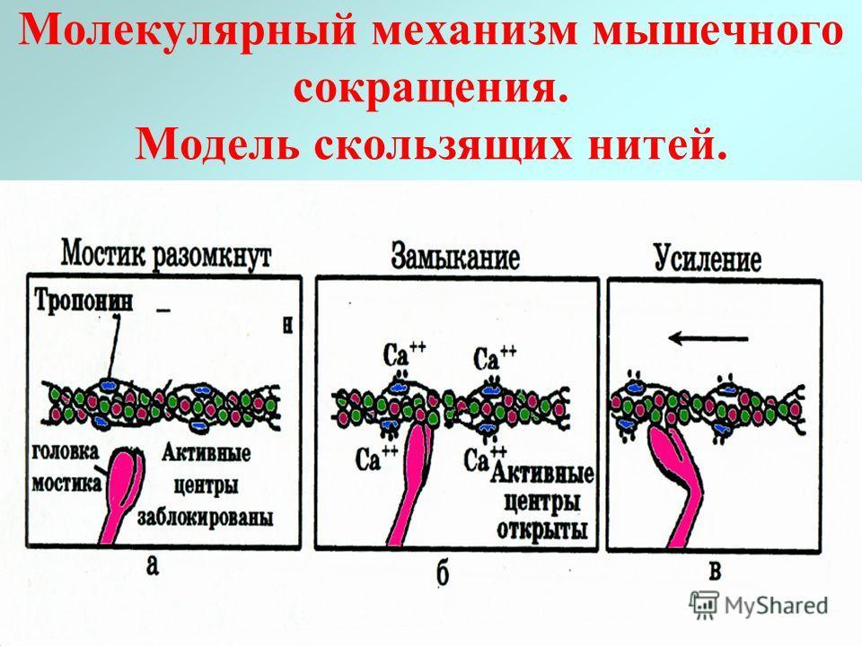 Молекулярный механизм мышечного сокращения. Модель скользящих нитей.