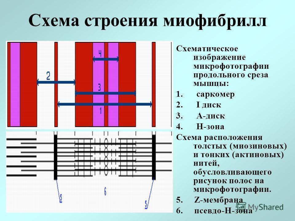 Схема строения миофибрилл