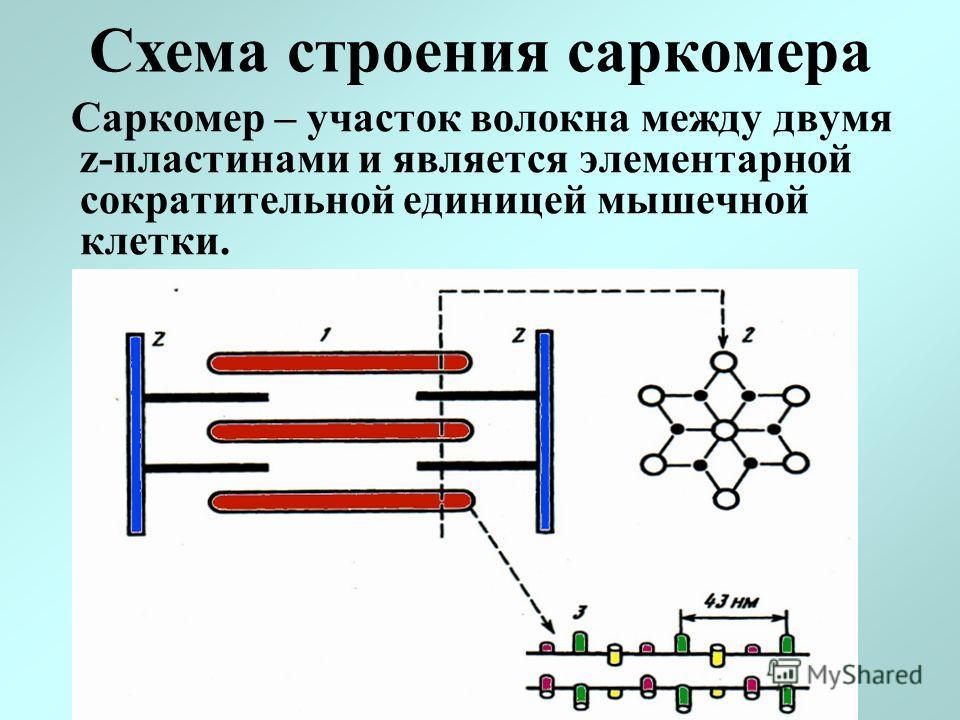 Схема строения саркомера Саркомер – участок волокна между двумя z-пластинами и является элементарной сократительной единицей мышечной клетки.