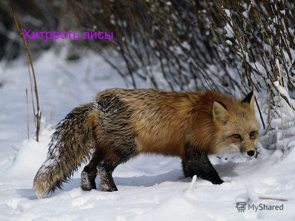 Хитрость лисы