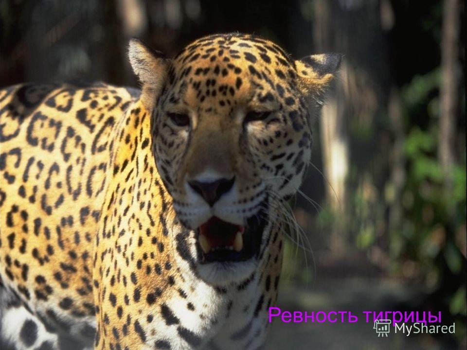 Ревность тигрицы