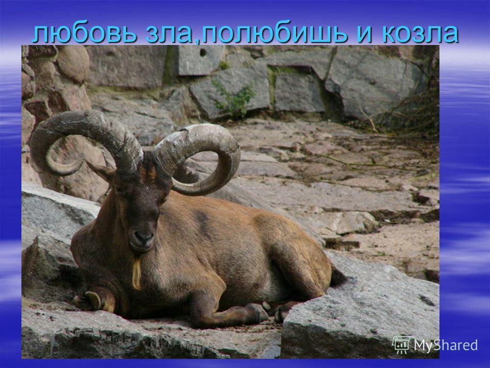 любовь зла,полюбишь и козла