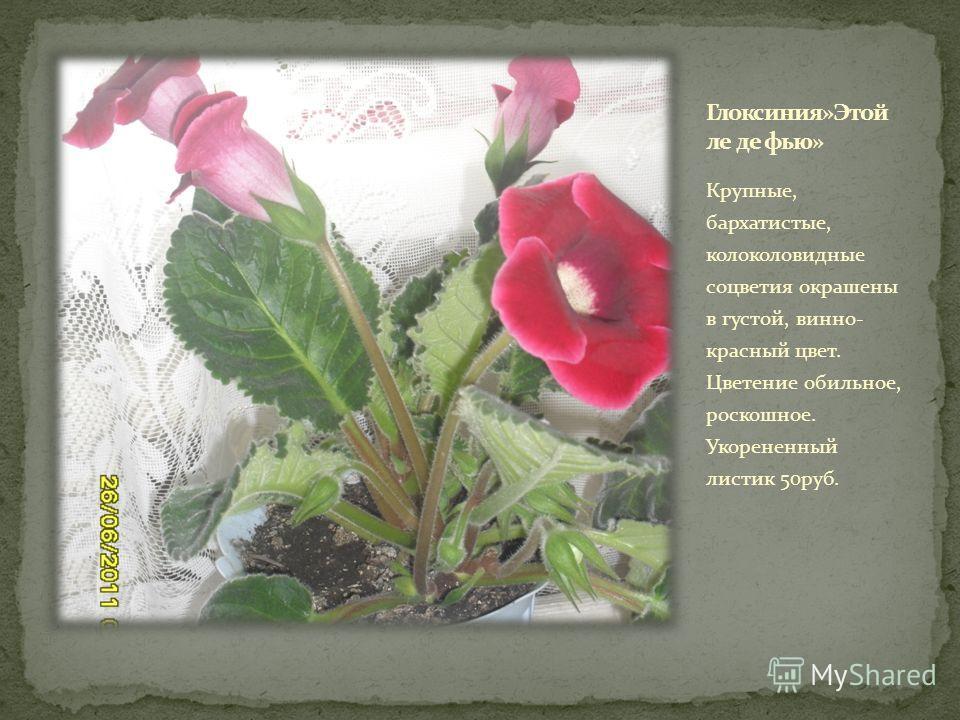 Крупные, бархатистые, колоколовидные соцветия окрашены в густой, винно- красный цвет. Цветение обильное, роскошное. Укорененный листик 50руб.