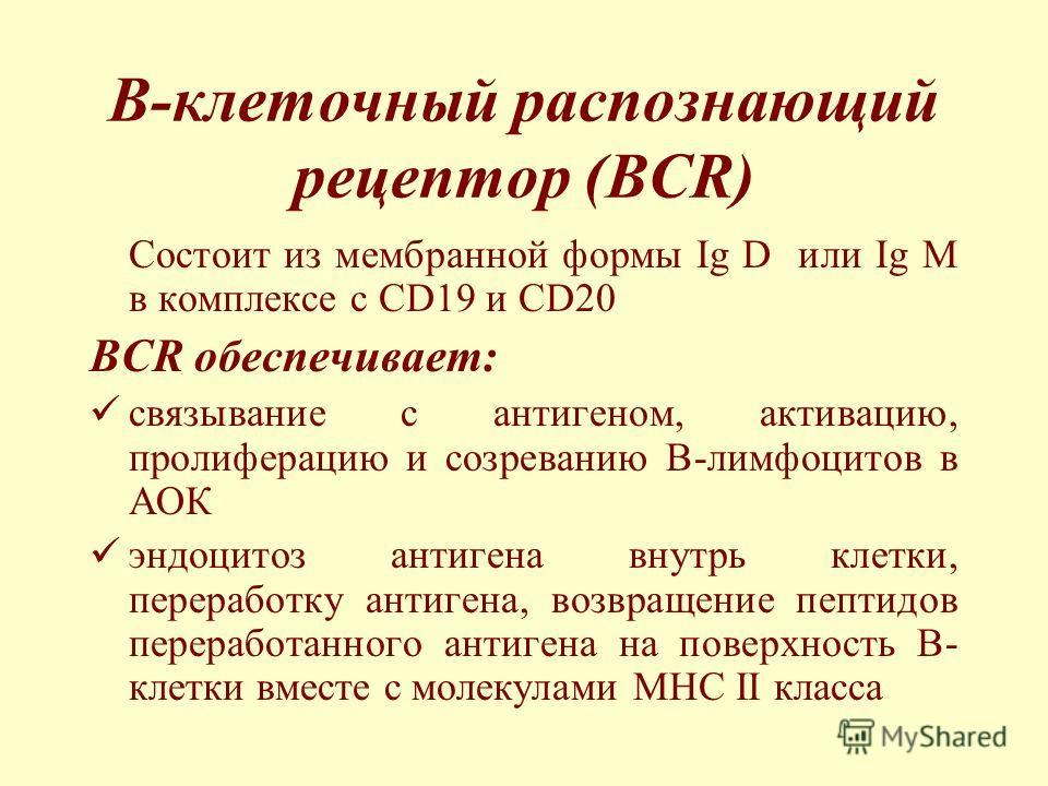 B-клеточный распознающий рецептор (BCR) Состоит из мембранной формы Ig D или Ig M в комплексе с CD19 и CD20 BCR обеспечивает: связывание с антигеном, активацию, пролиферацию и созреванию В-лимфоцитов в АОК эндоцитоз антигена внутрь клетки, переработк