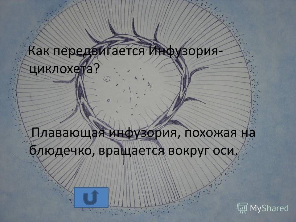 Как передвигается Инфузория- циклохета? Плавающая инфузория, похожая на блюдечко, вращается вокруг оси.
