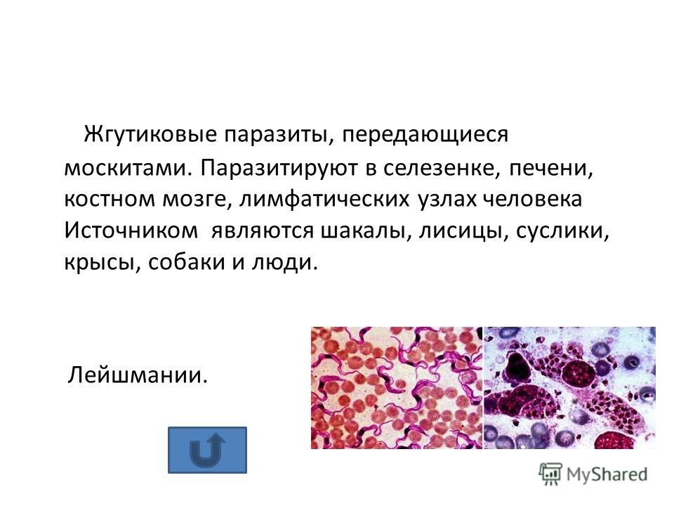 паразиты в селезенке человека