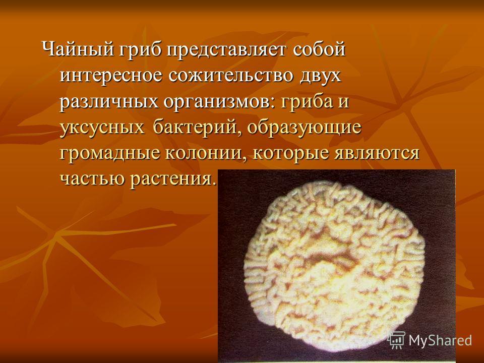 Чайный гриб представляет собой интересное сожительство двух различных организмов: гриба и уксусных бактерий, образующие громадные колонии, которые являются частью растения.