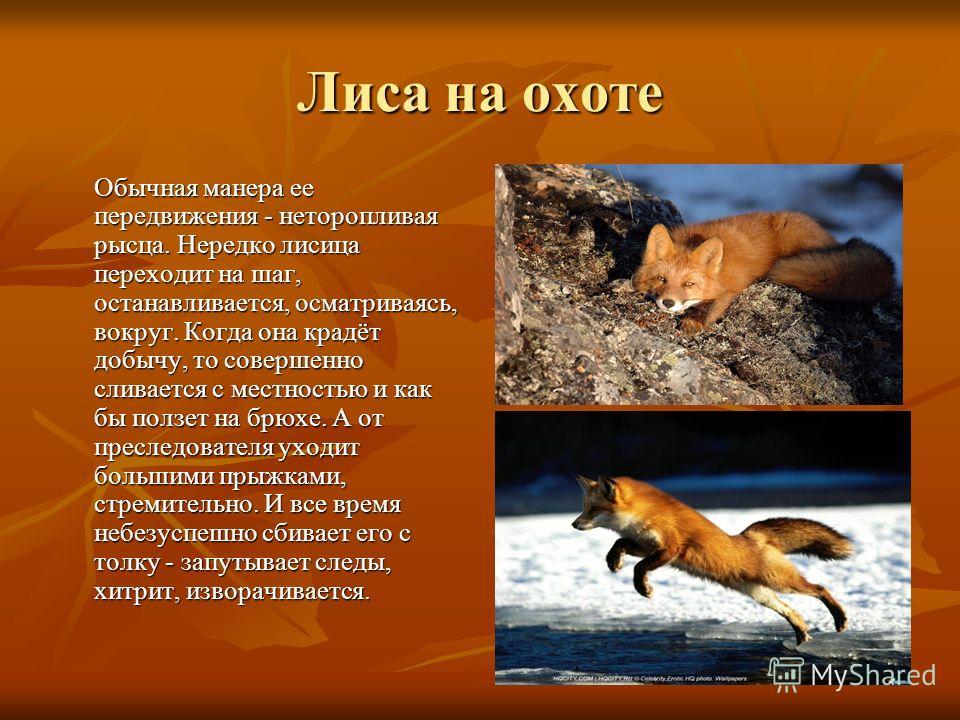 Обычная манера ее передвижения - неторопливая рысца. Нередко лисица переходит на шаг, останавливается, осматриваясь, вокруг. Когда она крадёт добычу, то совершенно сливается с местностью и как бы ползет на брюхе. А от преследователя уходит большими п