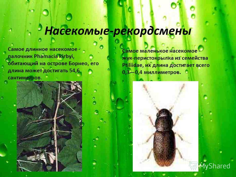 Насекомые-рекордсмены Самое длинное насекомое - палочник Phamacia kirbyi, обитающий на острове Борнео, его длина может достигать 54,6 сантиметров. Самое маленькое насекомое - жук-перистокрылка из семейства Ptiliidae, их длина достигает всего 0,30,4 м