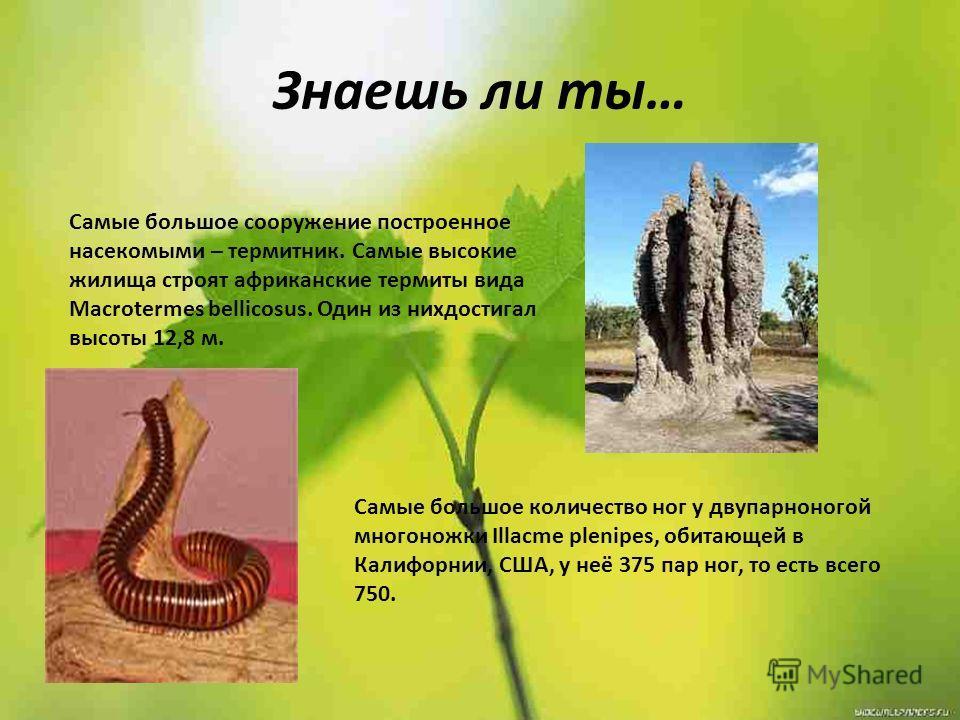 Знаешь ли ты… Самые большое сооружение построенное насекомыми – термитник. Самые высокие жилища строят африканские термиты вида Macrotermes bellicosus. Один из нихдостигал высоты 12,8 м. Самые большое количество ног у двупарноногой многоножки Illacme
