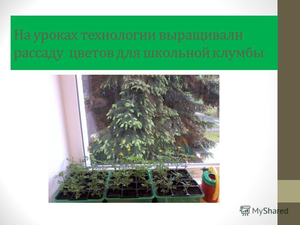 На уроках технологии выращивали рассаду цветов для школьной клумбы
