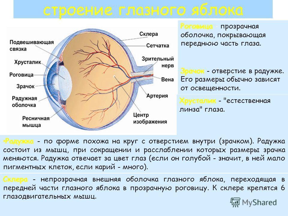 строение глазного яблока Роговица - прозрачная оболочка, покрывающая переднюю часть глаза. Зрачок - отверстие в радужке. Его размеры обычно зависят от освещенности. Хрусталик -