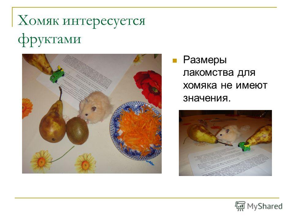 Хомяк интересуется фруктами Размеры лакомства для хомяка не имеют значения.