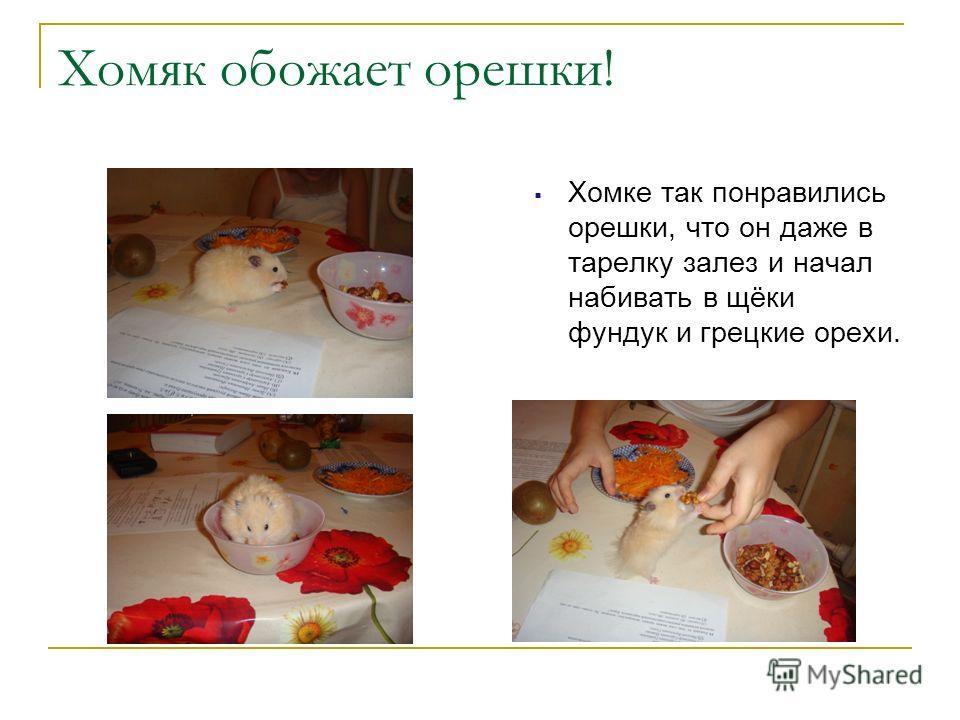 Хомяк обожает орешки! Хомке так понравились орешки, что он даже в тарелку залез и начал набивать в щёки фундук и грецкие орехи.