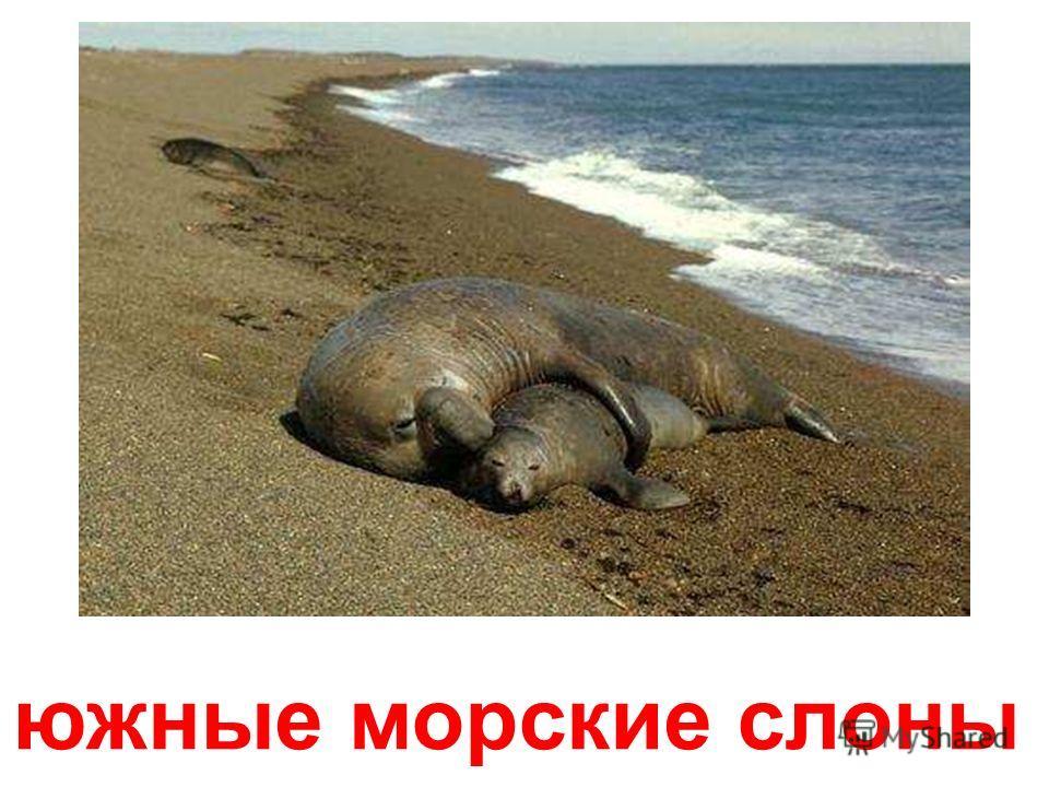 морской слон Морской слон