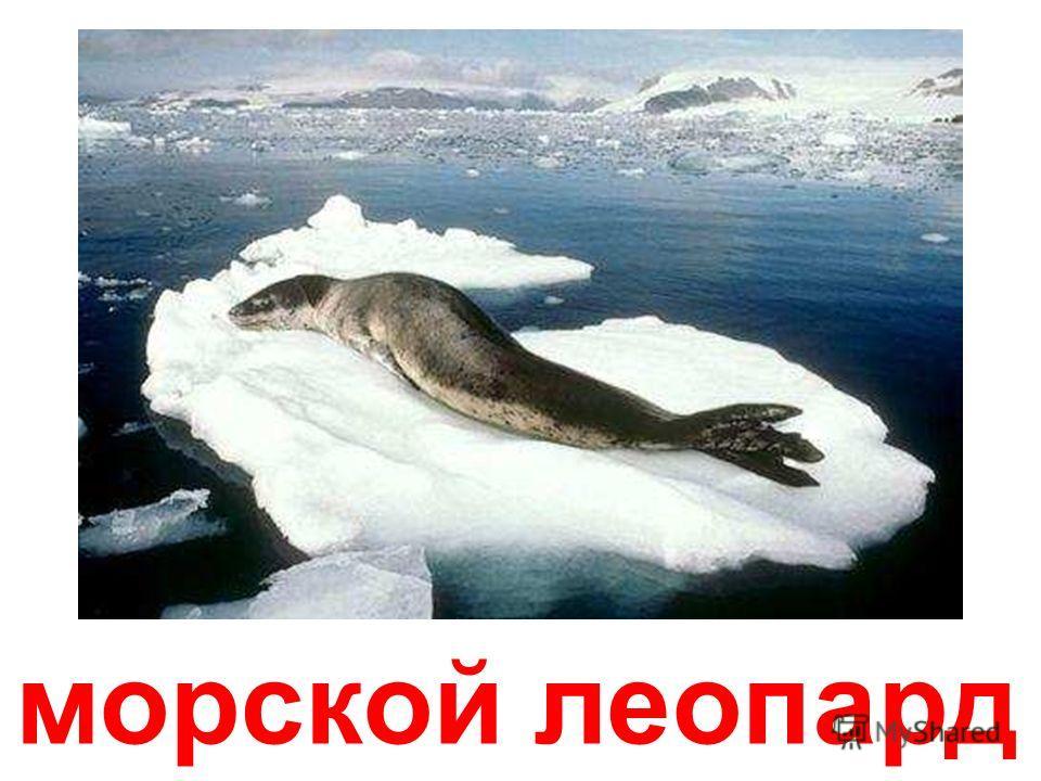 южные морские слоны Южные морские слоны