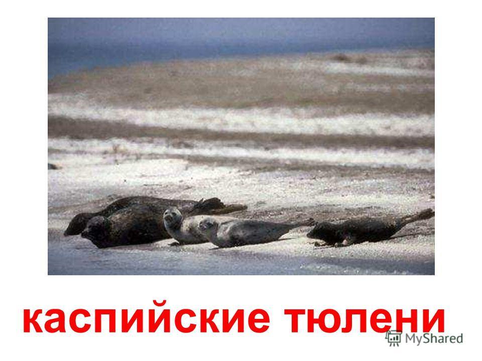 тюлень гренландский (лысун) Тюлень гренландский (лысун)