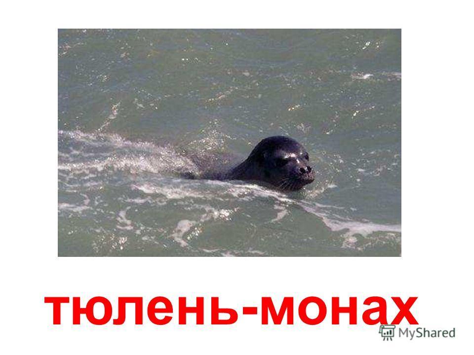 тюлени-крабоеды Тюлени-крабоеды