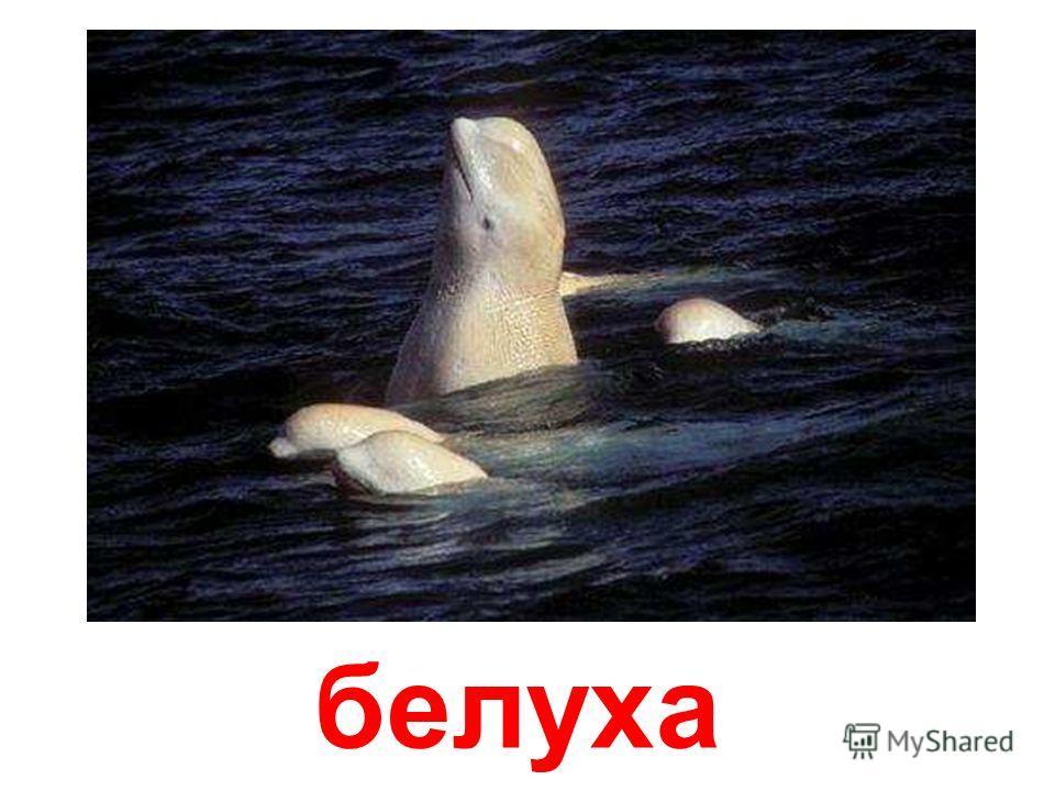 морские млекопитающие Морские млекопитающие papa-vlad.narod.ru