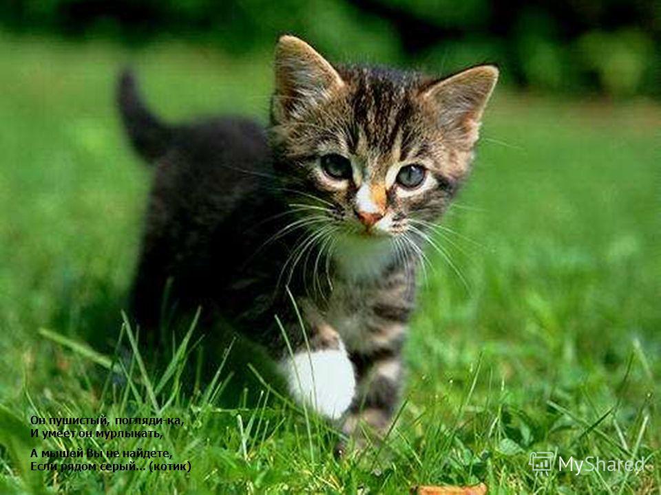 Он пушистый, погляди-ка, И умеет он мурлыкать, А мышей Вы не найдете, Если рядом серый... (котик) Он пушистый, погляди-ка, И умеет он мурлыкать, А мышей Вы не найдете, Если рядом серый... (котик)
