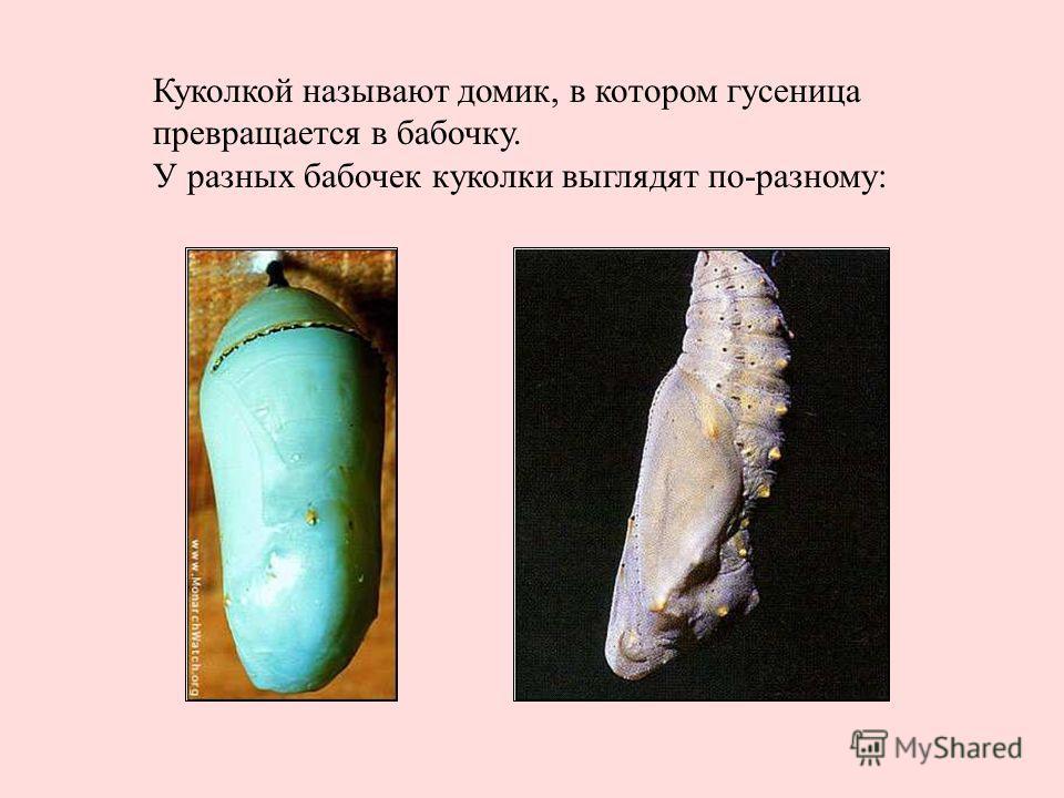 Куколкой называют домик, в котором гусеница превращается в бабочку. У разных бабочек куколки выглядят по-разному: Куколкой называют домик, в котором гусеница превращается в бабочку. У разных бабочек куколки выглядят по-разному: