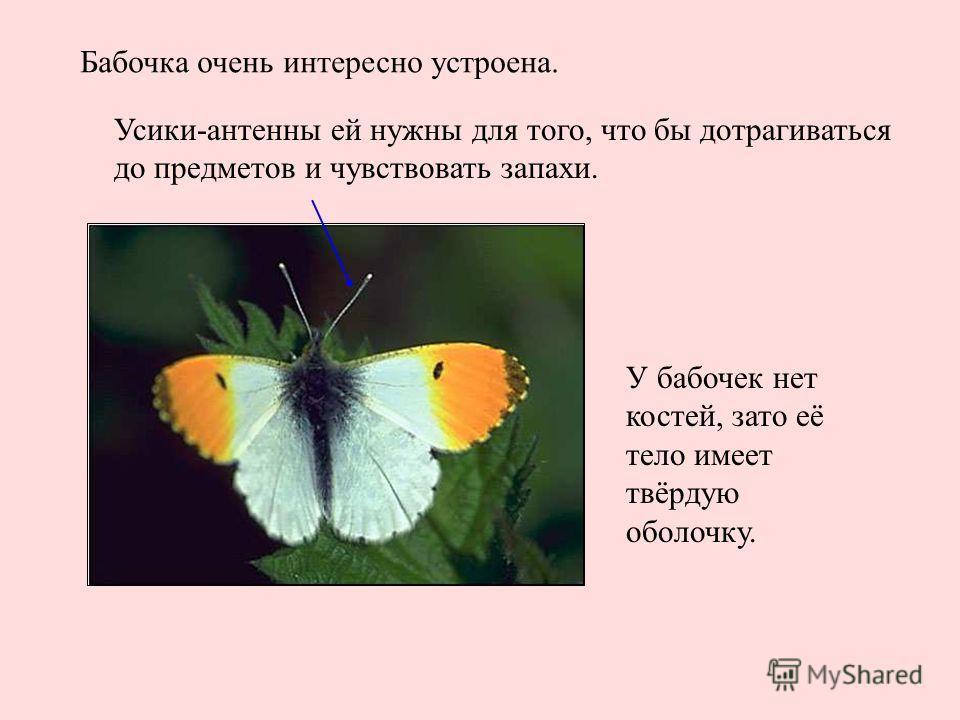 Бабочка очень интересно устроена. Усики-антенны ей нужны для того, что бы дотрагиваться до предметов и чувствовать запахи. У бабочек нет костей, зато её тело имеет твёрдую оболочку. Бабочка очень интересно устроена. Усики-антенны ей нужны для того, ч