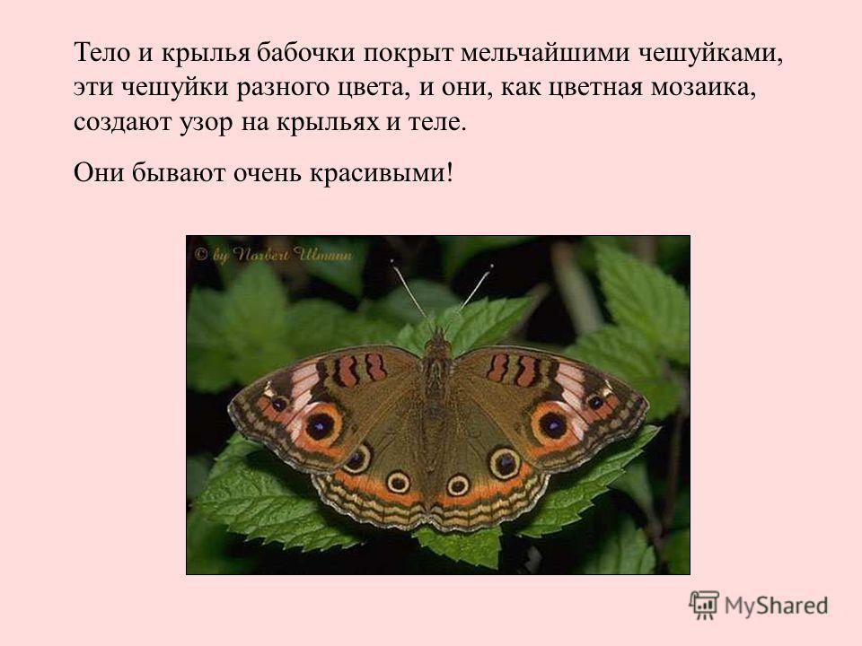 Тело и крылья бабочки покрыт мельчайшими чешуйками, эти чешуйки разного цвета, и они, как цветная мозаика, создают узор на крыльях и теле. Они бывают очень красивыми! Тело и крылья бабочки покрыт мельчайшими чешуйками, эти чешуйки разного цвета, и он