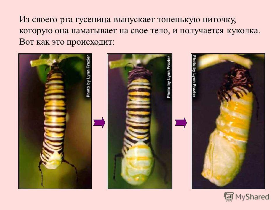 Из своего рта гусеница выпускает тоненькую ниточку, которую она наматывает на свое тело, и получается куколка. Вот как это происходит: Из своего рта гусеница выпускает тоненькую ниточку, которую она наматывает на свое тело, и получается куколка. Вот