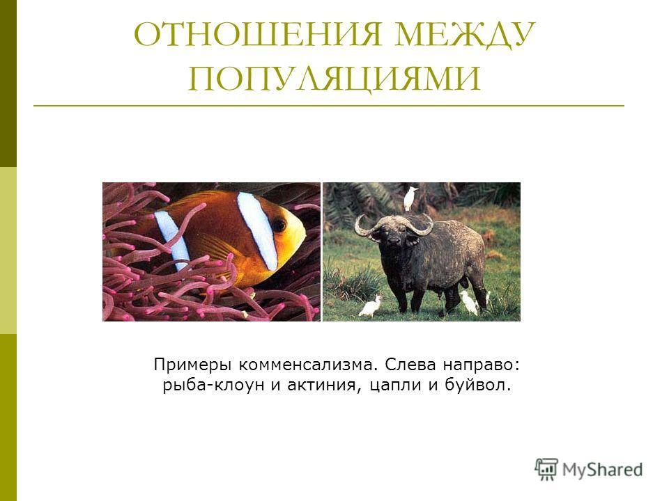 ОТНОШЕНИЯ МЕЖДУ ПОПУЛЯЦИЯМИ Примеры комменсализма. Слева направо: рыба-клоун и актиния, цапли и буйвол.