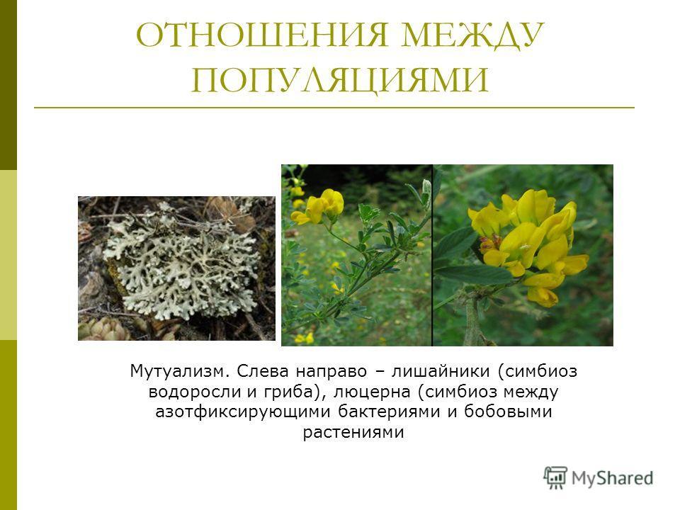 ОТНОШЕНИЯ МЕЖДУ ПОПУЛЯЦИЯМИ Мутуализм. Слева направо – лишайники (симбиоз водоросли и гриба), люцерна (симбиоз между азотфиксирующими бактериями и бобовыми растениями