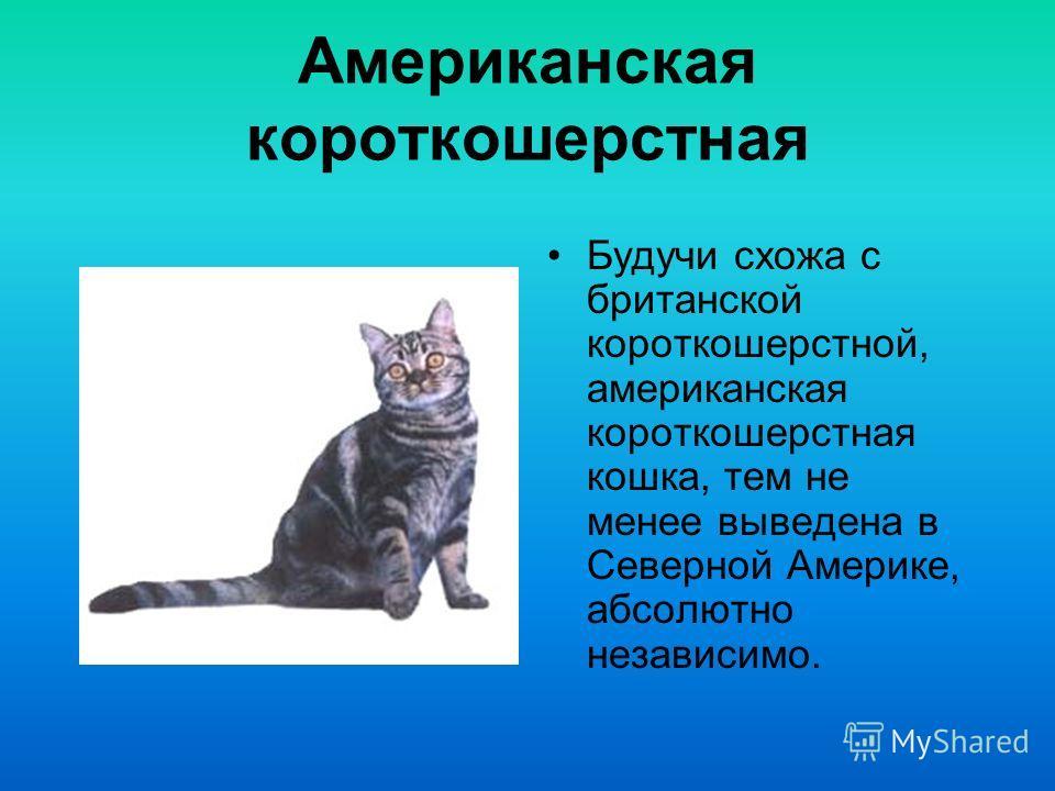 Американская жесткошерстная кошка Кошки этой породы появились в результате естественной мутации, впервые зафиксированной в середине 60-х гг. В Нью-Йорке.