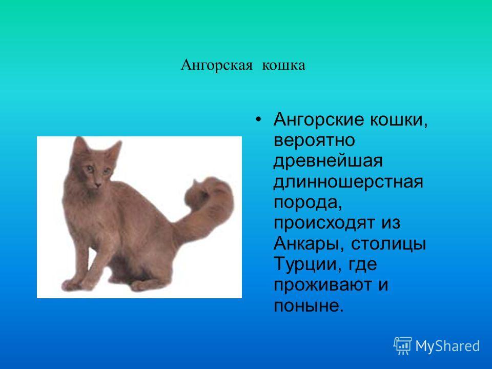 Американская короткошерстная Будучи схожа с британской короткошерстной, американская короткошерстная кошка, тем не менее выведена в Северной Америке, абсолютно независимо.