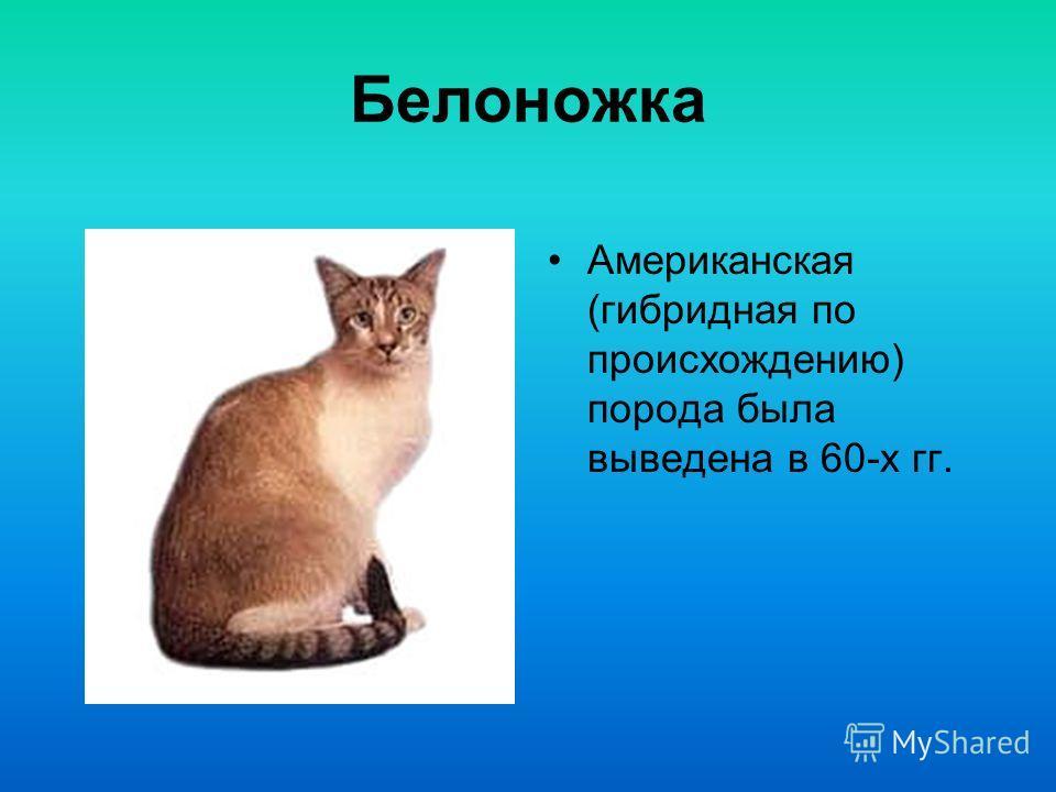 Балийская кошка Эта полудлинношерстн ая разновидность сиамских кошек была впервые замечена в начале 50-х гг.