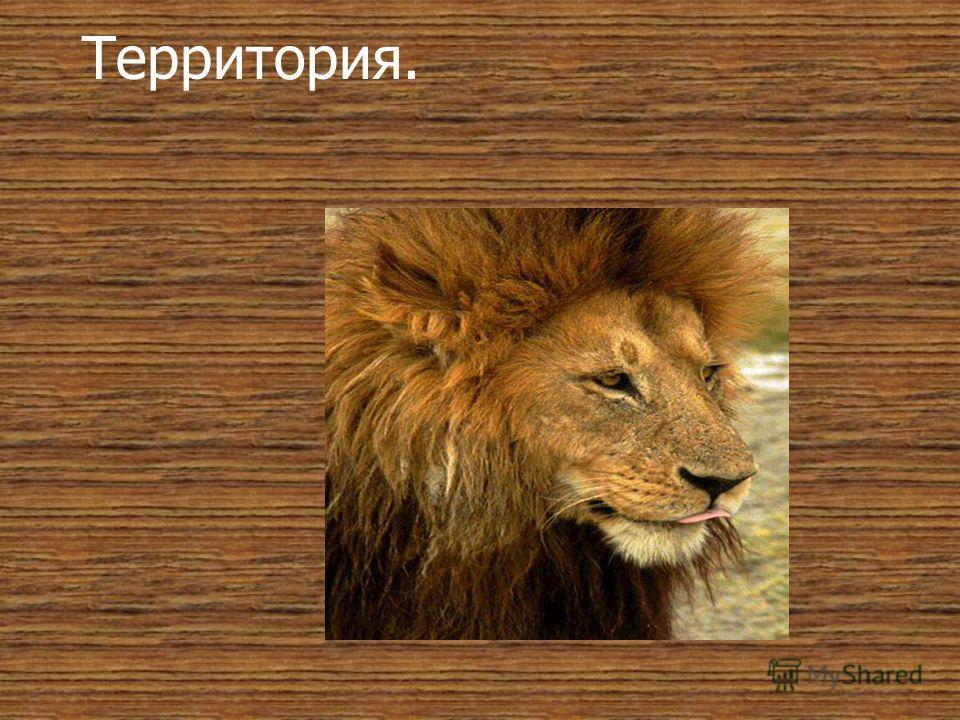 Потомство. Опасности раннего детства так велики, что выживает в большинстве случаев не более половины всех львят. Однако когда львята в возрасте около двух месяцев присоединяются к прайду, жизнь их становится заметно легче. Снова принимая участие в к