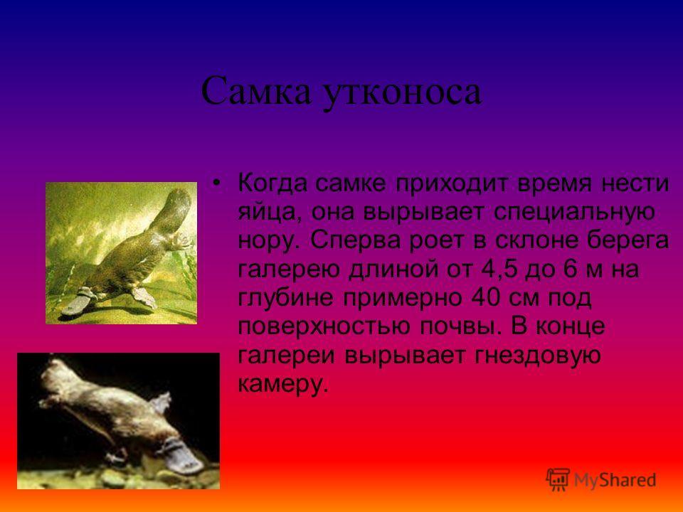 Утконос После спячки у утконоса наступает период размножения. Самка и самец встречаются в воде и танцуют брачный танец, то есть самец цепляется клювом за хвост самки и они плавают кругами, и спариваются в воде.
