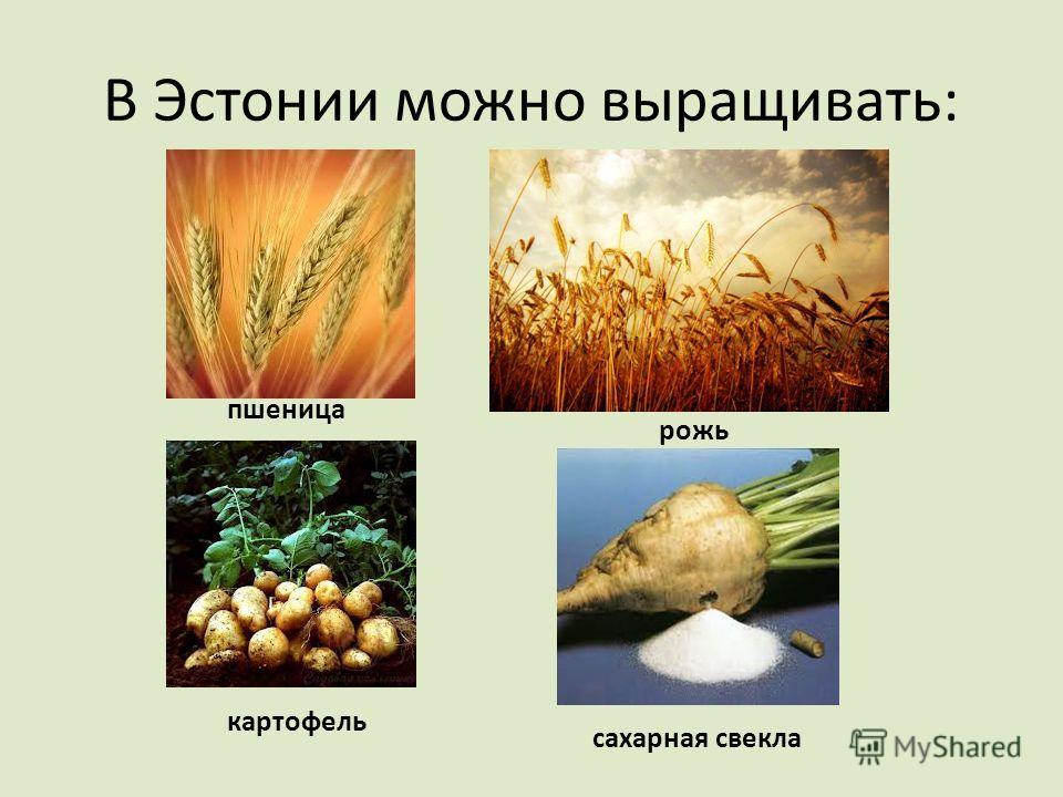 В Эстонии можно выращивать: пшеница рожь картофель сахарная свекла