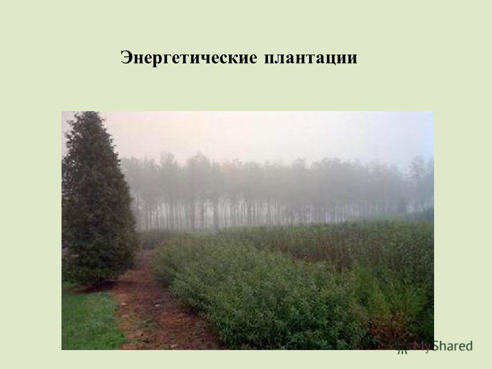 Энергетические плантации