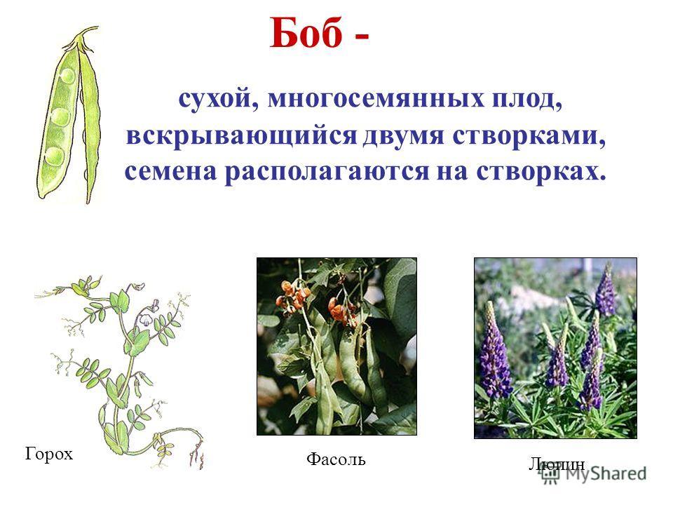 Боб - сухой, многосемянных плод, вскрывающийся двумя створками, семена располагаются на створках. Горох Фасоль Люпин