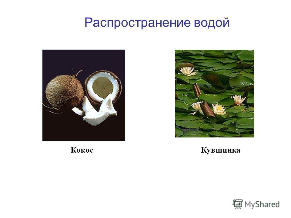 Кокос Распространение водой Кувшинка