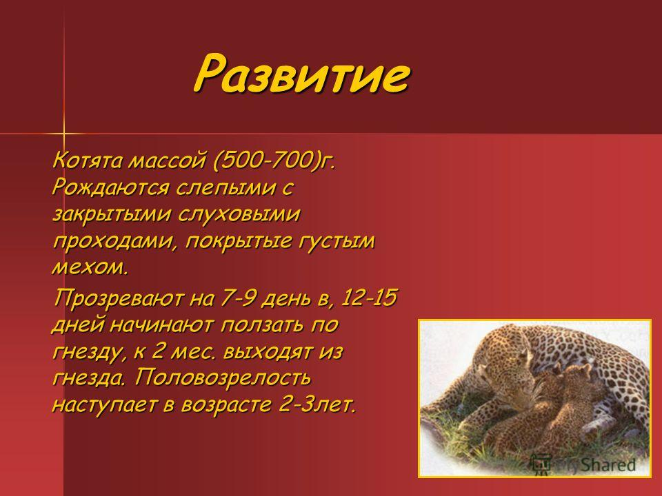 Развитие Развитие Котята массой (500-700)г. Рождаются слепыми с закрытыми слуховыми проходами, покрытые густым мехом. Прозревают на 7-9 день в, 12-15 дней начинают ползать по гнезду, к 2 мес. выходят из гнезда. Половозрелость наступает в возрасте 2-3