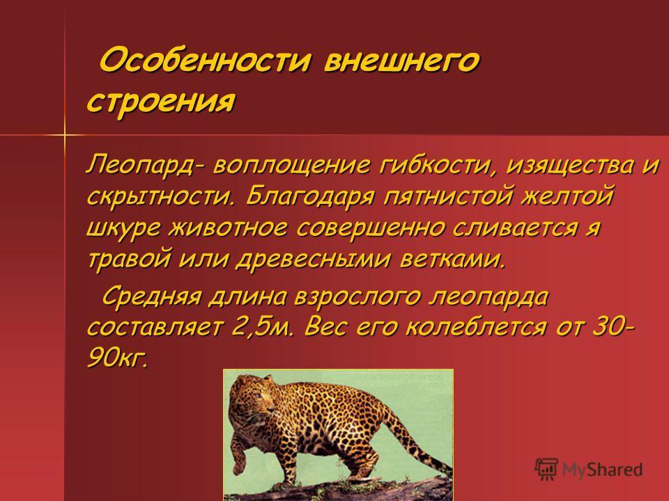 Особенности внешнего строения Особенности внешнего строения Леопард- воплощение гибкости, изящества и скрытности. Благодаря пятнистой желтой шкуре животное совершенно сливается я травой или древесными ветками. Средняя длина взрослого леопарда составл
