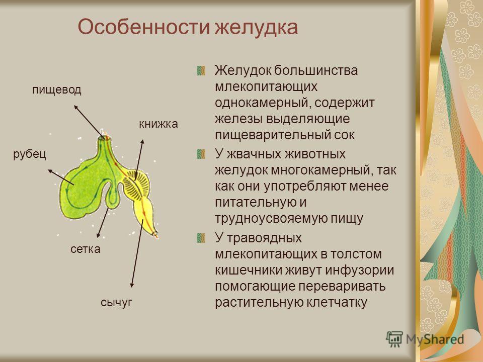Особенности желудка Желудок большинства млекопитающих однокамерный, содержит железы выделяющие пищеварительный сок У жвачных животных желудок многокамерный, так как они употребляют менее питательную и трудноусвояемую пищу У травоядных млекопитающих в