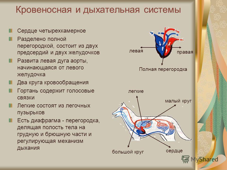 Кровеносная и дыхательная системы Сердце четырехкамерное Разделено полной перегородкой, состоит из двух предсердий и двух желудочков Развита левая дуга аорты, начинающаяся от левого желудочка Два круга кровообращения Гортань содержит голосовые связки