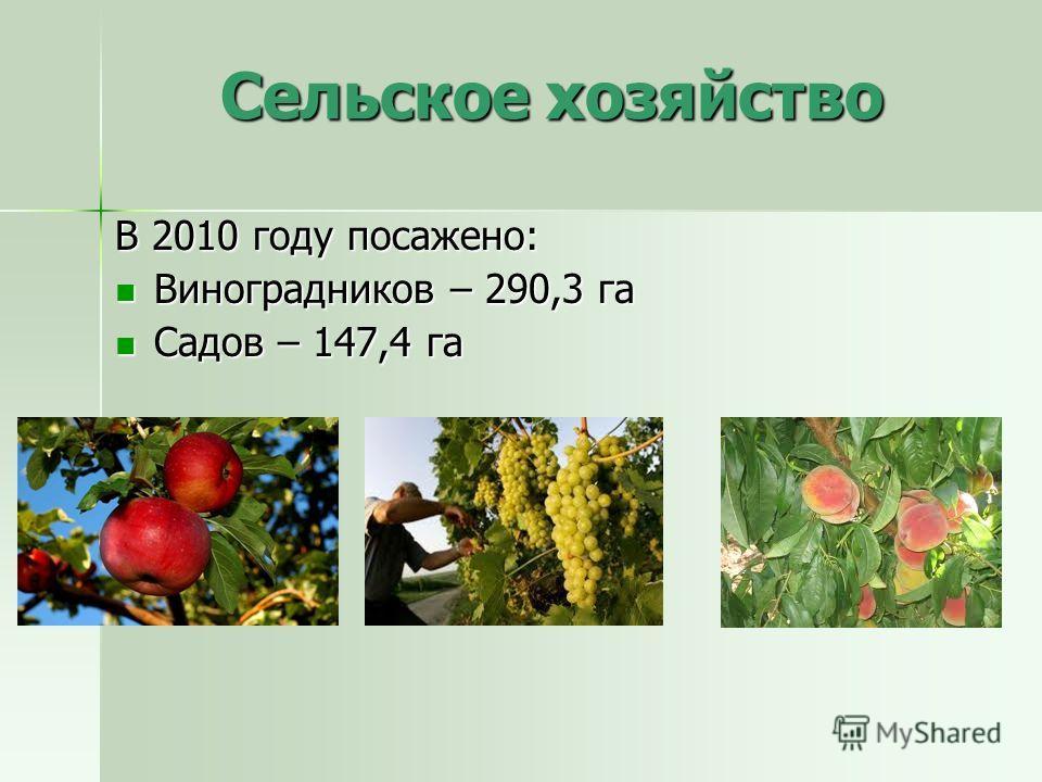 Сельское хозяйство В 2010 году посажено: Виноградников – 290,3 га Виноградников – 290,3 га Садов – 147,4 га Садов – 147,4 га