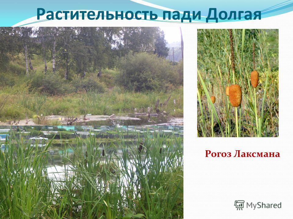 Растительность пади Долгая Рогоз Лаксмана