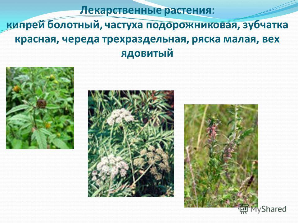Лекарственные растения: кипрей болотный, частуха подорожниковая, зубчатка красная, череда трехраздельная, ряска малая, вех ядовитый