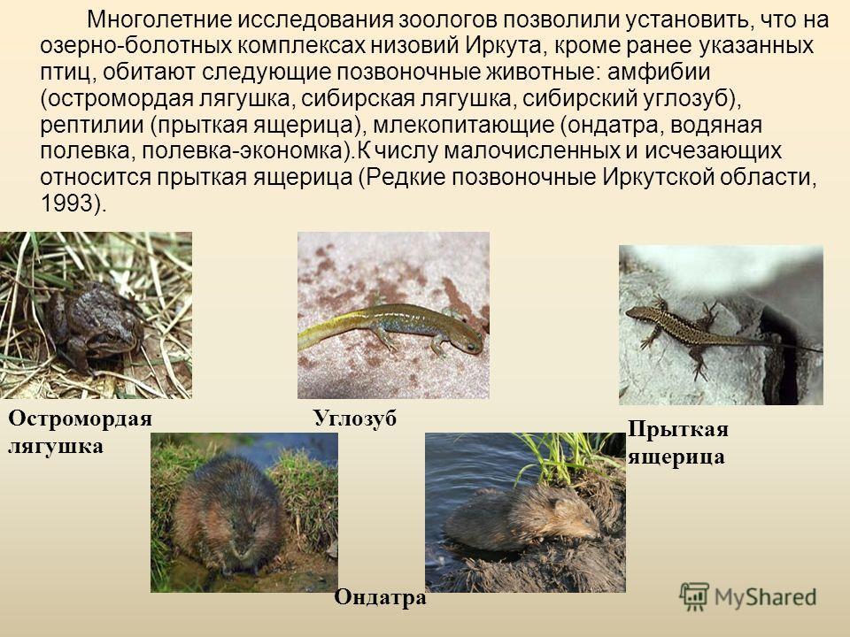 Многолетние исследования зоологов позволили установить, что на озерно-болотных комплексах низовий Иркута, кроме ранее указанных птиц, обитают следующие позвоночные животные: амфибии (остромордая лягушка, сибирская лягушка, сибирский углозуб), рептили
