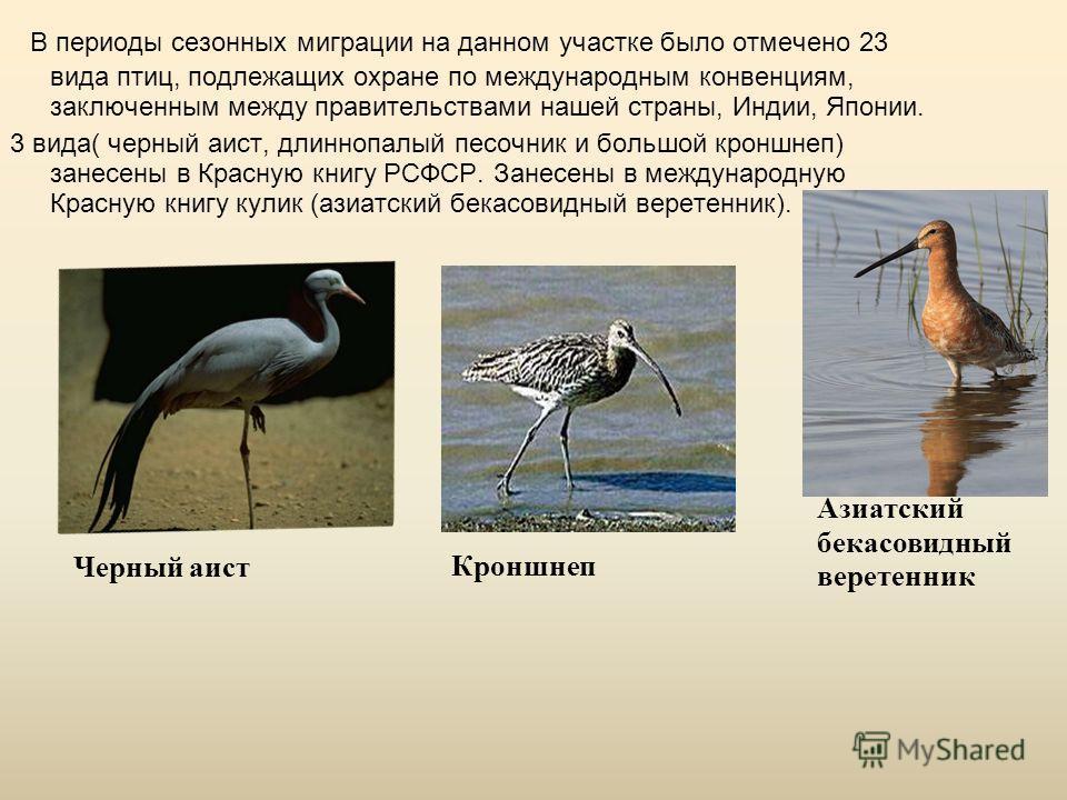 В периоды сезонных миграции на данном участке было отмечено 23 вида птиц, подлежащих охране по международным конвенциям, заключенным между правительствами нашей страны, Индии, Японии. 3 вида( черный аист, длиннопалый песочник и большой кроншнеп) зане