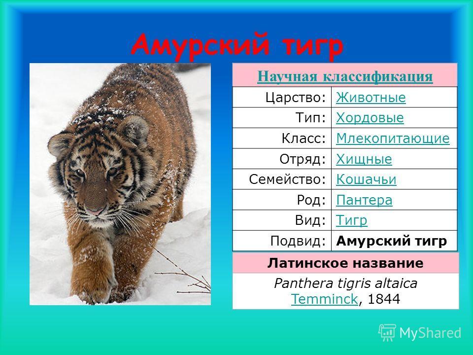 Амурский тигр Научная классификация Царство:Животные Тип:Хордовые Класс:Млекопитающие Отряд:Хищные Семейство:Кошачьи Род:Пантера Вид:Тигр Подвид:Амурский тигр Латинское название Panthera tigris altaica Temminck, 1844 Temminck